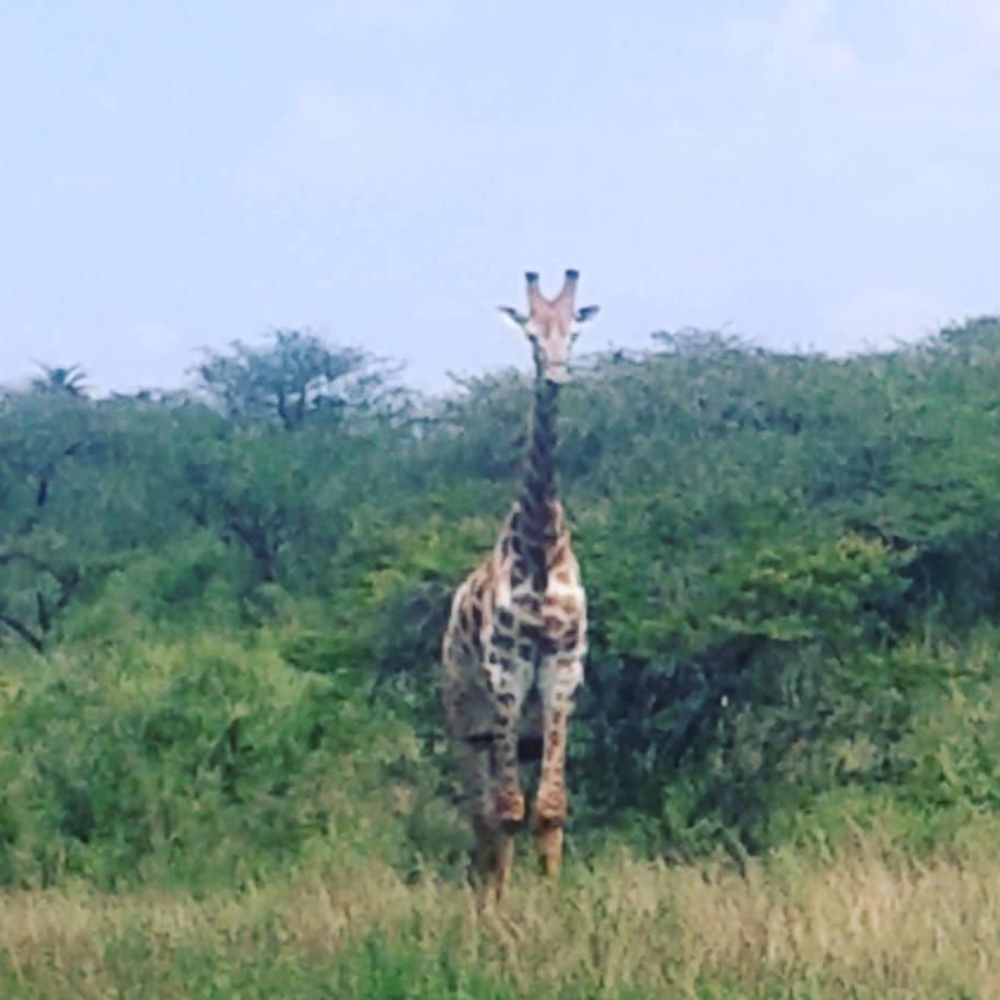 giraffe-felicia